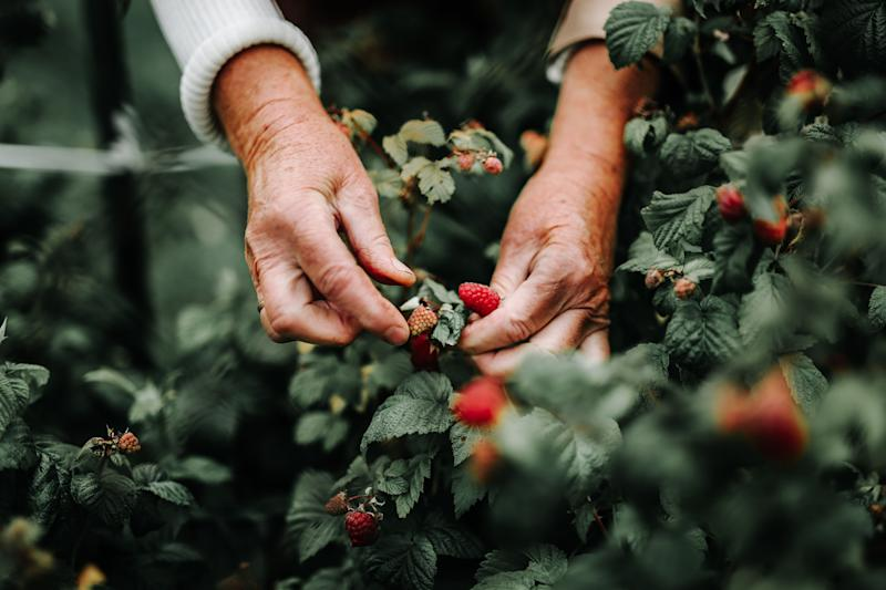 Close up image of the hands of a fruit picker picking strawberries. Image: Getty