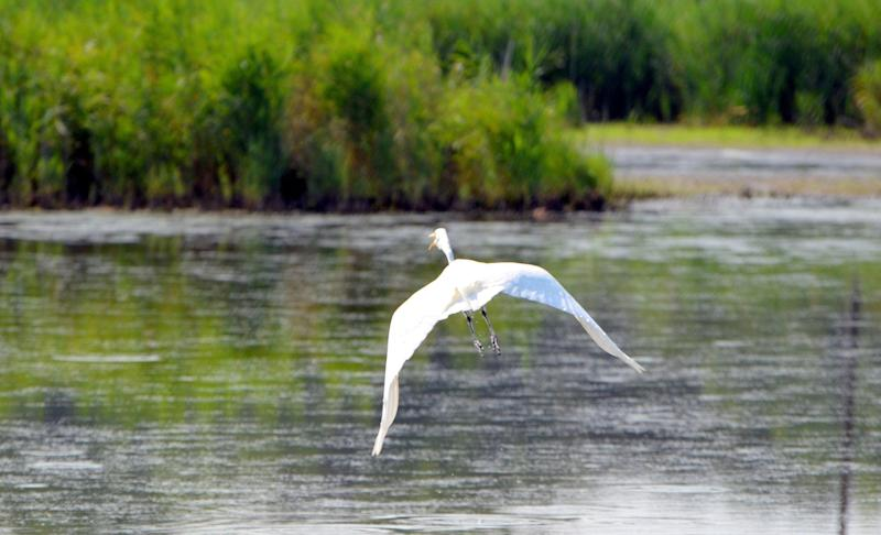 """&ldquo;Repeal of the [Clean Water Rule] could have a particular negative effect on certain species because the small and intermittent waters that are the target of the repeal are often significant ecological habitat,&rdquo; said Michael Gerrard, an environmental law professor at Columbia University.<br /><br />Some of the nation&rsquo;s birds, for example, could be at risk. According to the National Audubon Society, many of the water features covered by the Clean Water Rule are &ldquo;<a href=""""http://www.audubon.org/news/the-waters-united-states-wotus-rule-what-it-and-why-its-important"""" target=""""_blank"""">crucially important for birds</a>.&rdquo;<br /><br />Take <a href=""""http://www.audubon.org/magazine/may-june-2014/farm-bill-will-yield-benefits-birds-and-other"""" target=""""_blank"""">prairie potholes</a>, a type of wetland found mostly in the Upper Midwest. Millions of waterbirds flock to those bodies to &ldquo;take advantage of the buffet available&rdquo; there, said Alison Holloran, executive director of Audubon Rockies, in a recent statement.<br /><br />Fish, including salmon and trout, could also be threatened.<br /><br />&ldquo;Salmon and trout don&rsquo;t just live in big rivers and lakes, they often spawn in small streams, some of which go completely dry during the summer, and those same streams act as nurseries for young fish during the wet months,&rdquo; <a href=""""http://www.spokesman.com/blogs/outdoors/2017/feb/28/trump-rollback-clean-water-rule-could-impact-pacific-northwest-salmon-steelhead/"""" target=""""_blank"""">said</a> Rob Masonis, Trout Unlimited&rsquo;s vice president of Western conservation<i>. &ldquo;</i>If we don&rsquo;t protect small headwater streams and the wetlands that feed them, we imperil our fisheries and undermine the enormous investments we have made to recover salmon and steelhead in the Pacific Northwest.&rdquo;<br /><br />If the Clean Water Rule is repealed, millions of acres of wetlands would no longer be under the protection of the Clean Water Ac"""
