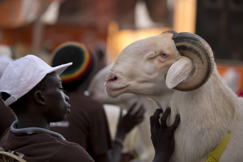 """In this Saturday, Oct. 6, 2012 photo, Dogo Ndiaye strokes ram Papis General as competitors await the judges' final decisions, in the Fann area regional final of the Khar Bii competition, in Dakar, Senegal. In a nation where sheep are given names and kept inside homes as companion animals, the most popular show on television is """"Khar Bii,"""" or literally, """"This Sheep"""" in the local Wolof language. It's an American Idol-style nationwide search for Senegal's most perfect specimen ahead of the Eid al-Adha festival, known locally as Tabaski. (AP Photo/Rebecca Blackwell)"""