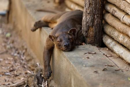A fossa rests near a cabin in the Kirindy forest reserve near the city of Morondava