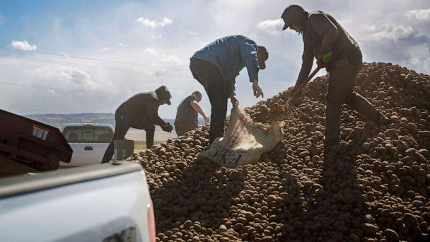 PHOTO: People collect buckets and truckloads of potatoes Wednesday, April 15, 2020, at Ryan Cranney's farm in Oakley, Idaho. (Pat Sutphin/Times-News via AP)