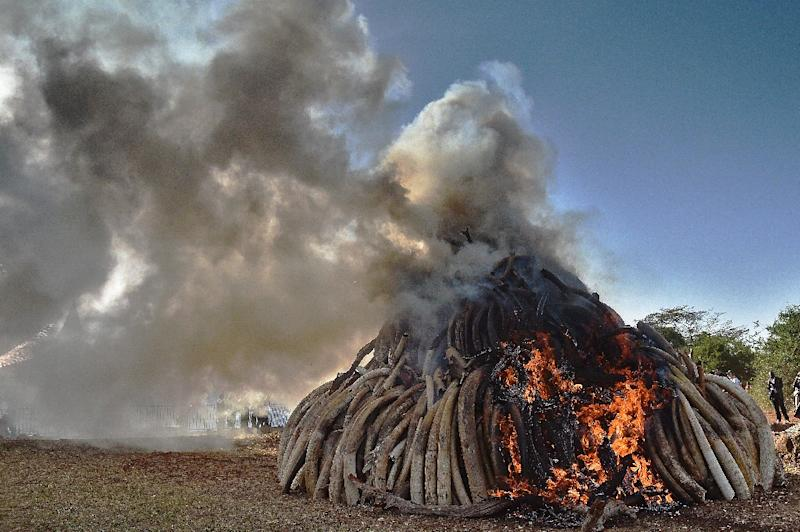 A burning pile of elephant ivory seized in Kenya on March 3, 2015 as countries across the world have increasingly been cracking down on the illegal trade (AFP Photo/Carl de Souza)