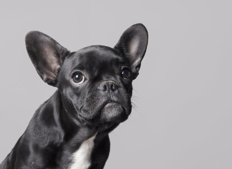 Cudi the French Bulldog Lets Nothing Stop Him From Living Life to the Absolute Fullest