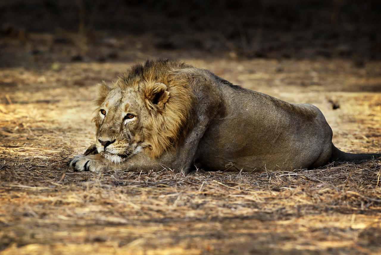 In this March 24, 2012 photo, a lion rests at the Gir Sanctuary in the western Indian state of Gujarat, India. Nurtured back to about 400 from less than 50 a century ago, these wild Asiatic lions are the last of a species that once roamed from Morocco and Greece to the eastern reaches of India. The subject of saving lions is an emotional one in India. The lion also holds iconic status in religions and cultures. The multi-armed Hindu warrior goddess Durga is traditionally shown with a lion as her mount. Four lions make the national emblem - symbolizing power, courage, pride and confidence. (AP Photo/Rajanish Kakade)