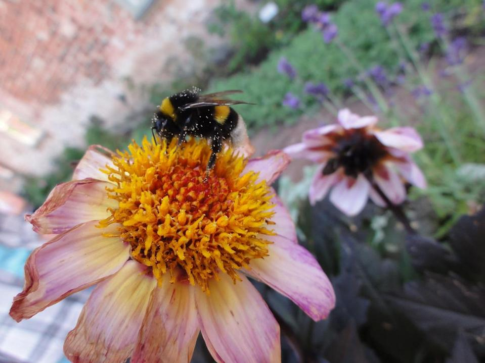 Big bumblebees take time to learn the locations of the best flowers, new research shows (Natalie Hempel de Ibarra/University of Exeter/PA).