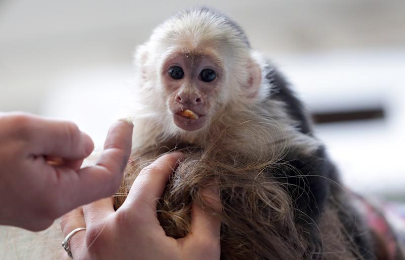 """FILE - In this April 2, 2013 file picture, Capuchin monkey """"Mally"""" sits on the head of an employee in an animal shelter in Munich, Germany. Justin Bieber's pet monkey is set to become the property of Germany. Mally the Monkey was seized by German customs March 28 when Bieber failed to produce required vaccination and import papers for the animal after landing in Munich. He said the customs authority will formally transfer ownership of the animal to the German state on Tuesday May 21, 2013. (AP Photo/Matthias Schrader, File)"""