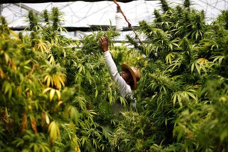 FILE PHOTO: A worker harvests cannabis plants at a plantation near the northern town of Nazareth, Israel