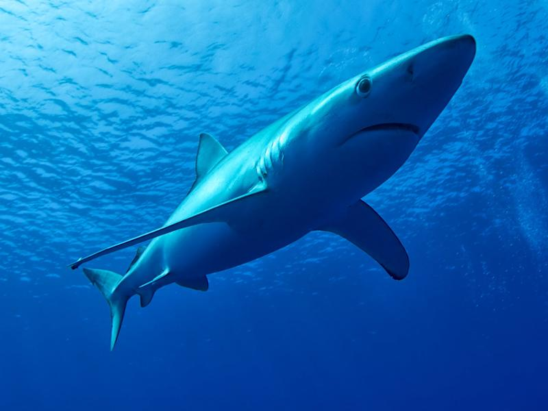 Blue sharks are regularly seen in waters of the UK during summer months as they follow their food: Getty