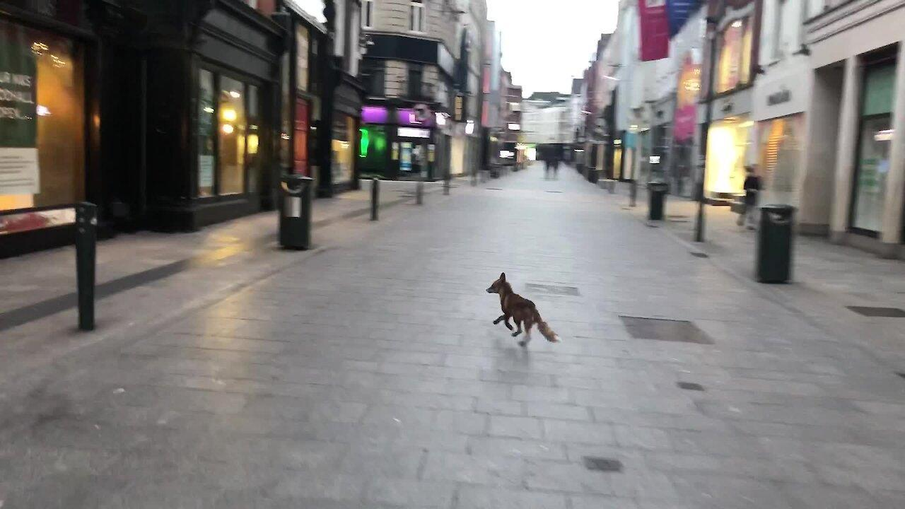 Wild Fox Spotted on Grafton Street in Dublin, Ireland