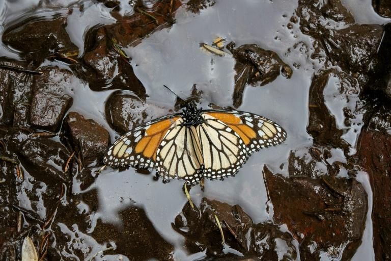 Monarchs of the eastern side of the North American continent are in a difficult situation: their population has decreased by more than 80 percent in two decades (AFP/Enrique Castro)