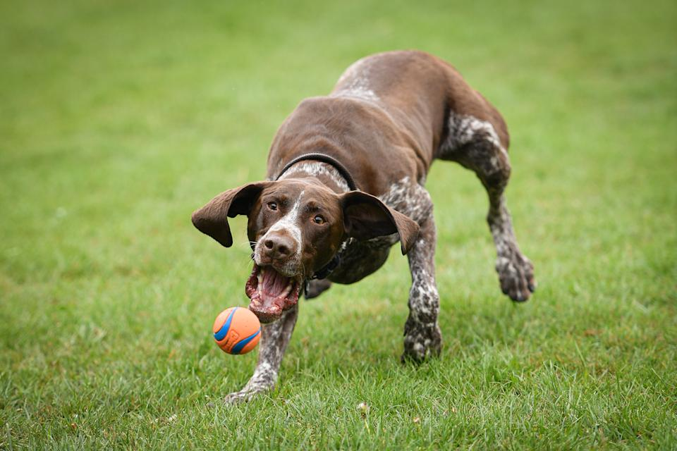 A German Pointer playing ball at Wimbledon Common as the UK continues in lockdown to help curb the spread of the coronavirus.