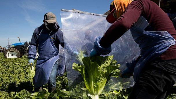 PHOTO: Farm laborers from Fresh Harvest working with an H-2A visa harvest romaine lettuce on a machine with heavy plastic dividers that separate workers from each other on April 27, 2020 in Greenfield, California. (Brent Stirton/Getty Images)