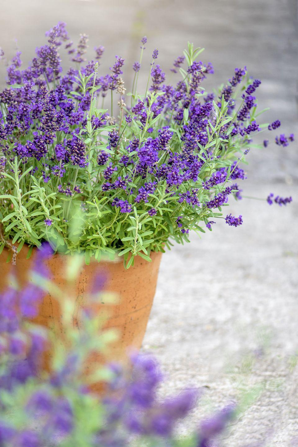 """<p>Lavender might be used to promote calmness, but did you know it can stop spiders crawling into the home? Simply take a cutting from your lavender bush outside, tie it into small bunch, and hang in each room. Why not give this a go during spider season...</p><p><a class=""""link rapid-noclick-resp"""" href=""""https://www.primrose.co.uk/-p-137218.html"""" rel=""""nofollow noopener"""" target=""""_blank"""" data-ylk=""""slk:BUY NOW"""">BUY NOW</a></p>"""