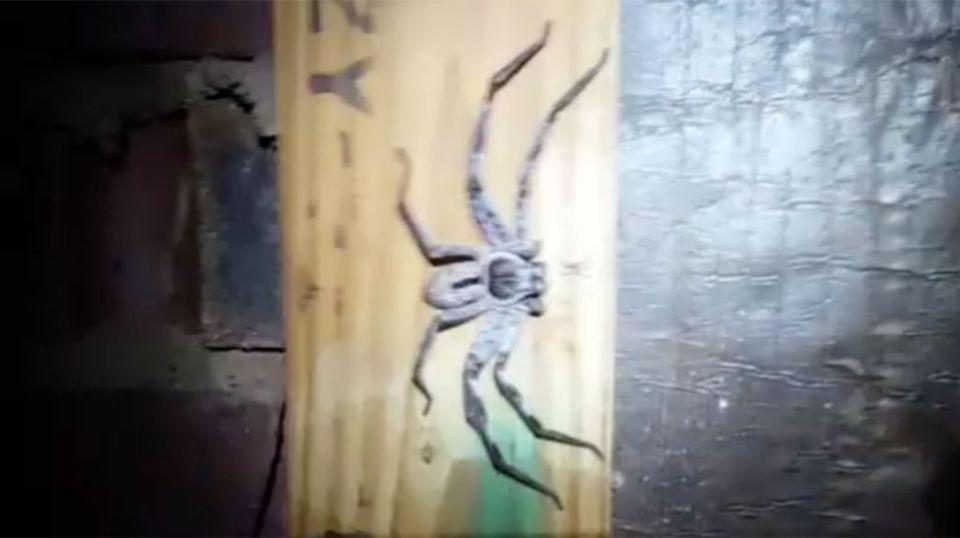 A huntsman and about 100 baby spiders was found in a Queensland roof space during a termite inspection. Picture: Auswise Pest Control