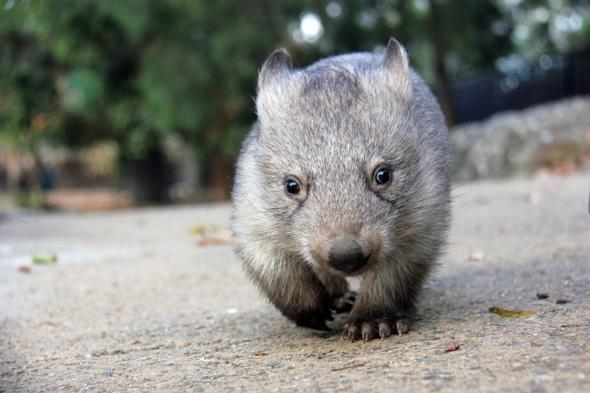 Orphaned baby wombat joins zookeeper on daily rounds