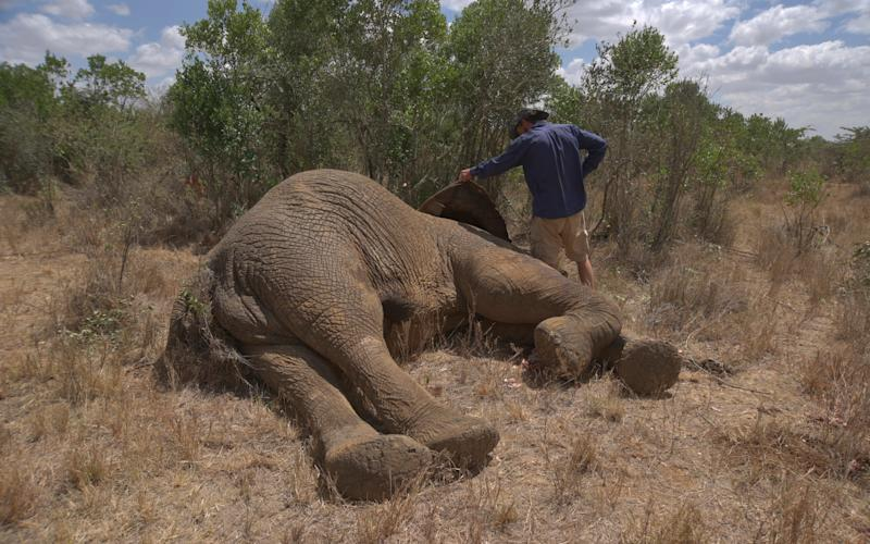 Jamie Manuel, wildlife manager at Mugie ranch in laikipia, examins the carcass of an elephant shot dead the day before alllegedly by poachers - Credit: Riccardo Gangale