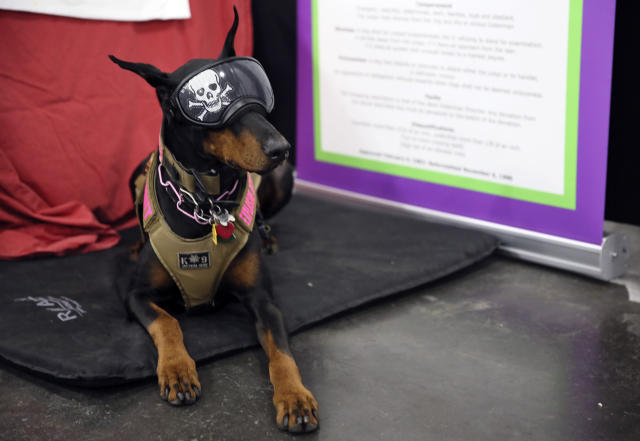 In this Saturday, Jan. 25, 2020 photo, Tabitha, a Doberman pinscher, who was initially a show dog but now is an explosives-sniffer, checking dignitaries private planes at New York City-area airports, sits at the American Kennel Clubs Meet the Breeds event in New York. She wears the goggles to protect her eyes from any debris that might be whirling around at the airport. (AP Photo/Jennifer Peltz)