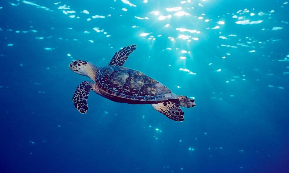 <p>Found in the world's tropical oceans, hawksbill turtles are at risk from the loss of nesting and feeding habitats. (Photo: WWF) </p>