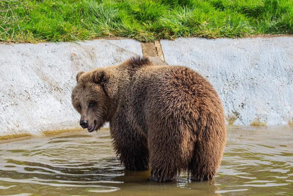 Two bears at Whipsnade Zoo have woken up just in time for the reopening of the attraction