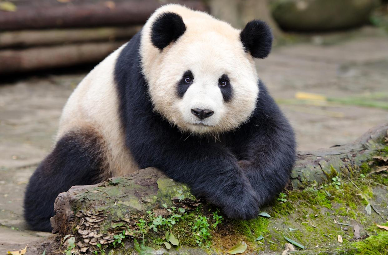 We're hardwired to love pandas' cute features. (Getty Images)