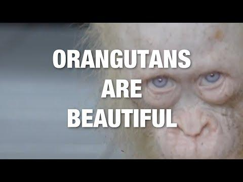 <p>The orangutan – an extraordinary animal and ancestors of ours.</p><p>We're big fans of the orangutan here at Storyful, so we thought, why not compile some of our very favorite orangutan clips! Credit: Various via Storyful</p>