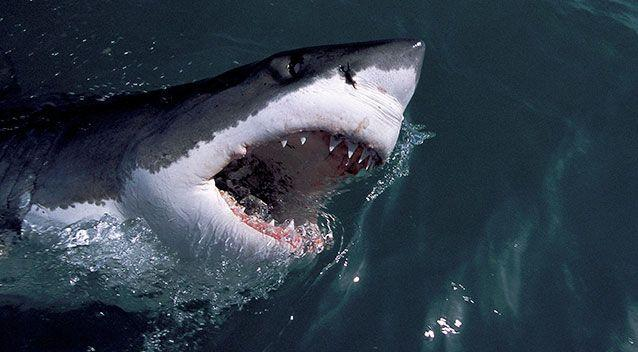 A great white shark. CSIRO estimates about 750 adult sharks are off the east coast - not including the juveniles. File pic. Source: AAP