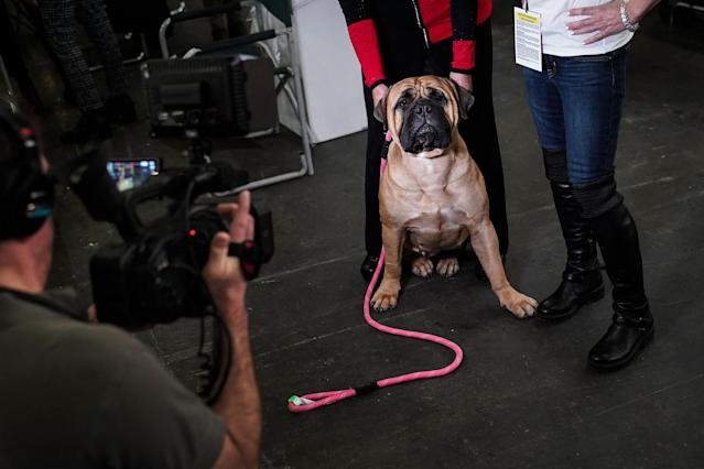 <p>A bullmastiff sits as its owner is interviewed at the 142nd Westminster Kennel Club Dog Show at The Piers on Feb. 13, 2018 in New York City. (Photo: Drew Angerer/Getty Images) </p>