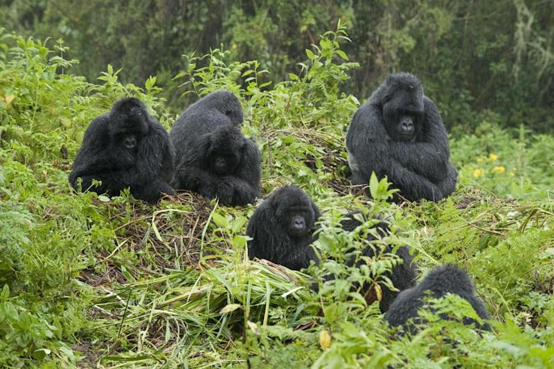 Gorillas in our midst