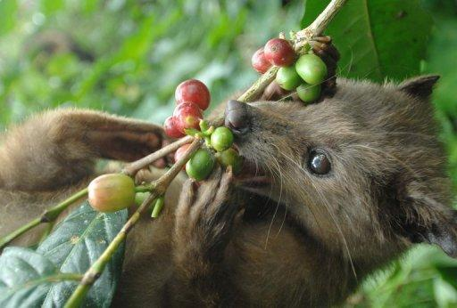 """A wild civet eats ripe Arabika coffee beans at a plantation which produces Luwak coffee on the Indonesian island of Bali. The """"golden droppings"""" of the luwak produced after the creature eats and then excretes ripe coffee beans, can fetch up to $800 per kilogram in countries like the US, Australia, and Singapore but suppliers are stuggling to meet demand"""