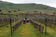 FILE PHOTO: A man drives an agricultural tractor in a vineyard in the Israeli-occupied Golan Heights