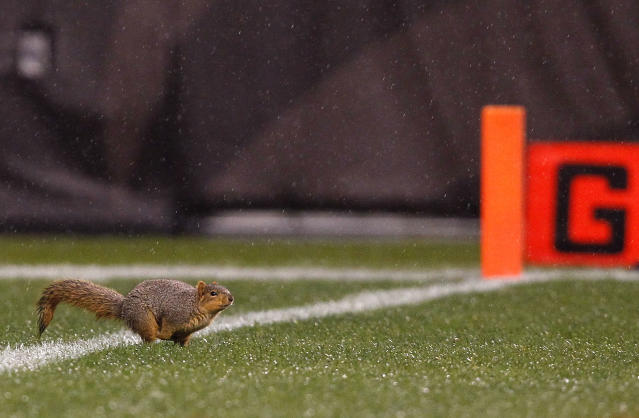 CLEVELAND, OH - DECEMBER 04: A squirrel runs on the field during the fourth quarter of the Cleveland Browns versus Baltimore Ravens NFL game at Cleveland Browns Stadium on December 4, 2011 in Cleveland, Ohio. (Photo by Matt Sullivan/Getty Images)