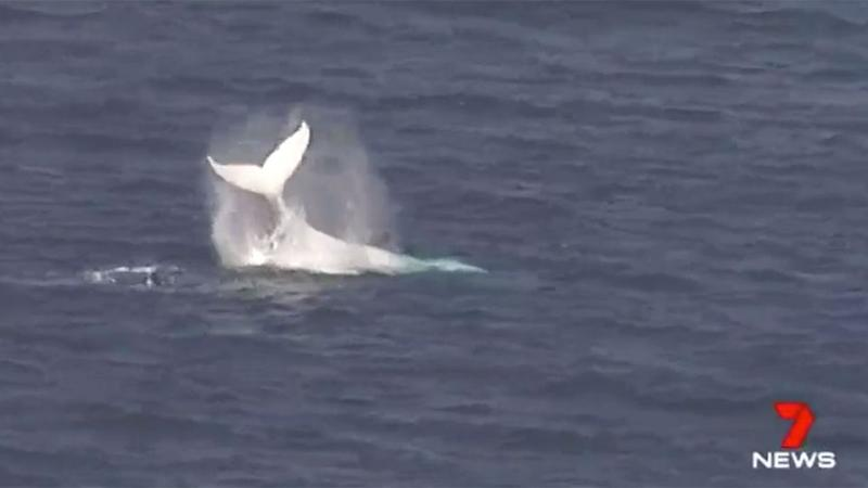 The rare whale made a surprise appearance much to the delight of onlookers. Source: 7 News