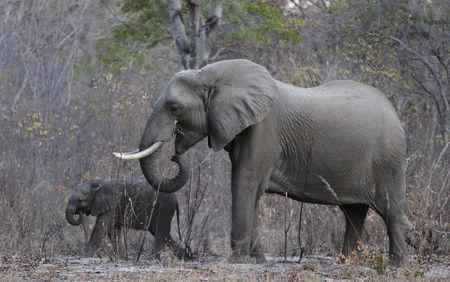 FILE PHOTO: Elephants graze inside Zimbabwe's Hwange National Park