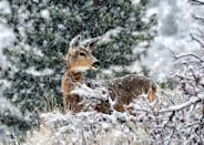"""<p>Here's an interesting fact about deers to accompany this sweet photo: in the winter, <a href=""""https://now.tufts.edu/articles/how-do-deer-survive-harsh-winter-weather"""" rel=""""nofollow noopener"""" target=""""_blank"""" data-ylk=""""slk:deer are much less active"""" class=""""link rapid-noclick-resp"""">deer are much less active</a> and can drop their metabolism by half, allowing them to save energy and eat less. This keeps them safe and allows them to rest more. </p>"""