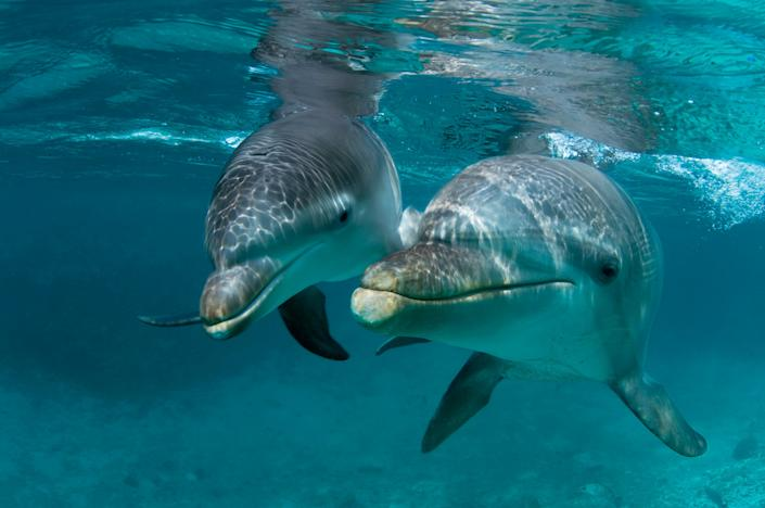 A mother Atlantic bottlenose dolphin and her offspring in Curacao. (Photo: Wild Horizon via Getty Images)
