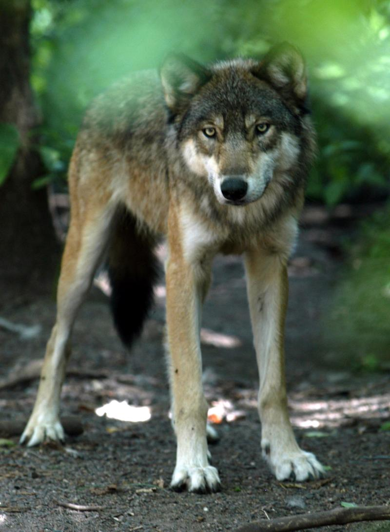 Wolf's recovery seen in livestock loss payouts