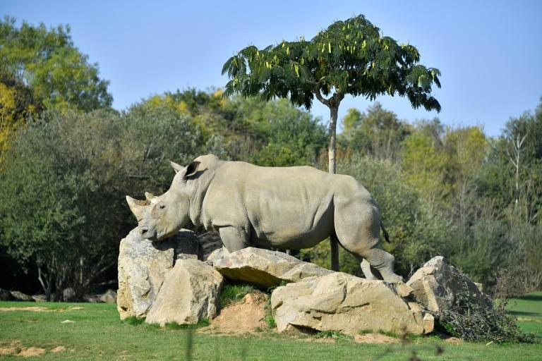 The life expectancy of white rhinos in the wild is about 50 years