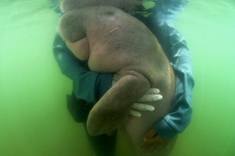 The discovery of the deer comes months after a sick baby dugong won hearts in Thailand as she fought for recovery, only to pass away from an infection exacerbated by plastic bits lining her stomach (AFP Photo/Sirachai ARUNRUGSTICHAI)