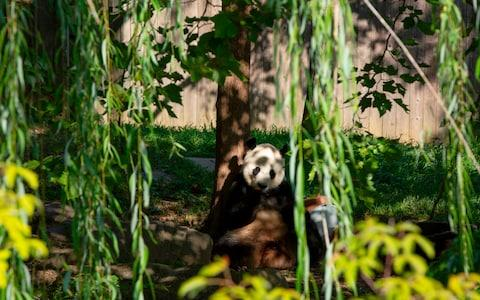 Giant panda Bei Bei eats his frozen 4th birthday cake at the Smithsonian National Zoo in Washington - Credit: ALASTAIR PIKE/AFP