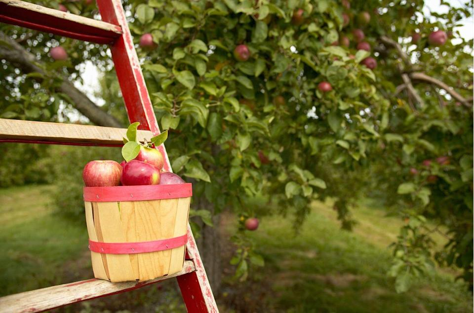 "<p>Whether they're fully open for business or curbside only, there's nothing like the fresh taste of fruit picked right from an apple tree. Serve up creative takes on classic recipes such as <a href=""https://www.countryliving.com/food-drinks/a36401/ways-to-use-an-apple/"" rel=""nofollow noopener"" target=""_blank"" data-ylk=""slk:apple ring pancakes"" class=""link rapid-noclick-resp"">apple ring pancakes</a> or <a href=""https://www.countryliving.com/food-drinks/g2572/stuffed-apple-recipes/?slide=1"" rel=""nofollow noopener"" target=""_blank"" data-ylk=""slk:cheesecake-stuffed baked apples"" class=""link rapid-noclick-resp"">cheesecake-stuffed baked apples</a>. </p>"