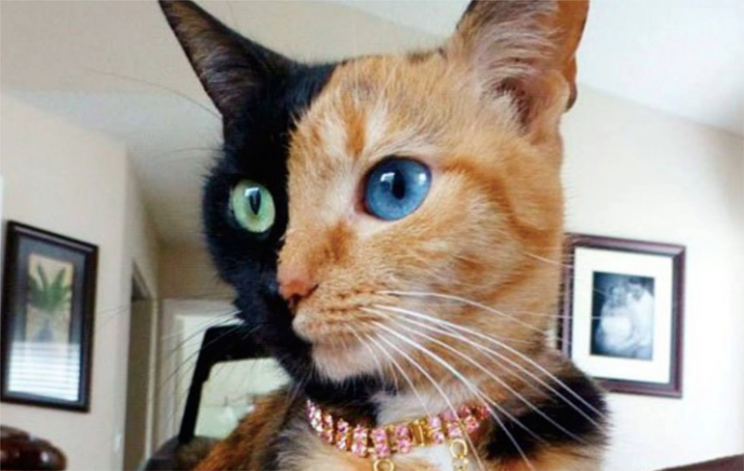 cat with with split face