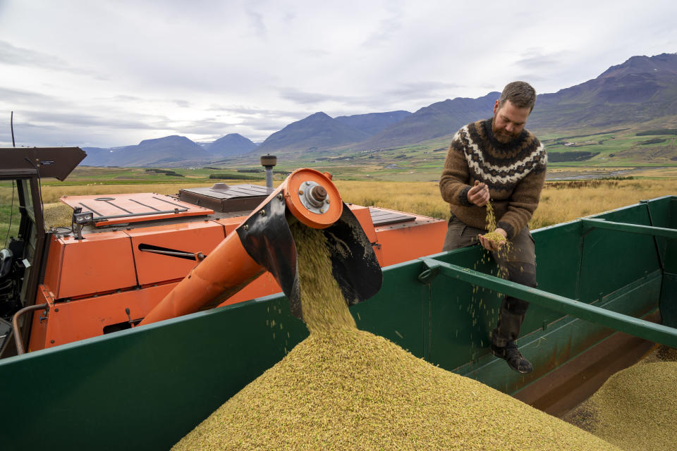 """Farmer Hermann Gunnarsson examines his crop as he gathers his largest harvest of barley in thirty years in Eyja Fjord, northern Iceland Saturday, Sept. 18, 2021. Gunnarsson, said warmer temperatures are an opportunity to expand local production. """"The climate coin has two sides,"""" he said. """"But the politicians who talk the most about climate change are afraid to speak about the benefits, too."""" Climate change is top of the agenda when voters in Iceland head to the polls for general elections on Saturday, following an exceptionally warm summer and an election campaign defined by a wide-reaching debate on global warming.(AP Photo/Egill Bjarnason)"""