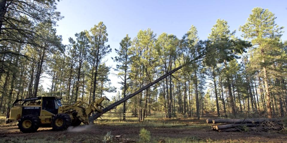 FILE - In this Aug. 25, 2009, file photo, logging equipment cuts down a tree near Reserve, N.M. A federal judge has halted tree-cutting activities on all five national forests in New Mexico and one in Arizona until federal agencies can get a better handle on how to monitor the population of the threatened Mexican spotted owl. The order issued earlier Sept. 2019, out of the U.S. District Court in Tucson covers 18,750 square miles. (AP Photo/Chris Carlson, File)