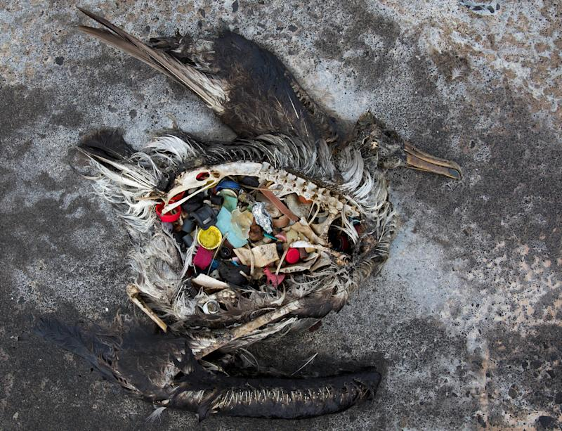 A black footed albatross chick with plastics in its stomach lies dead on Midway Atoll in the Northwestern Hawaiian Islands. The remote atoll is now a delicate sanctuary for millions of seabirds. Each year the U.S. Fish and Wildlife Service removes about 20 tons of plastic and debris that washes ashore from surrounding waters. (Photo: ASSOCIATED PRESS)