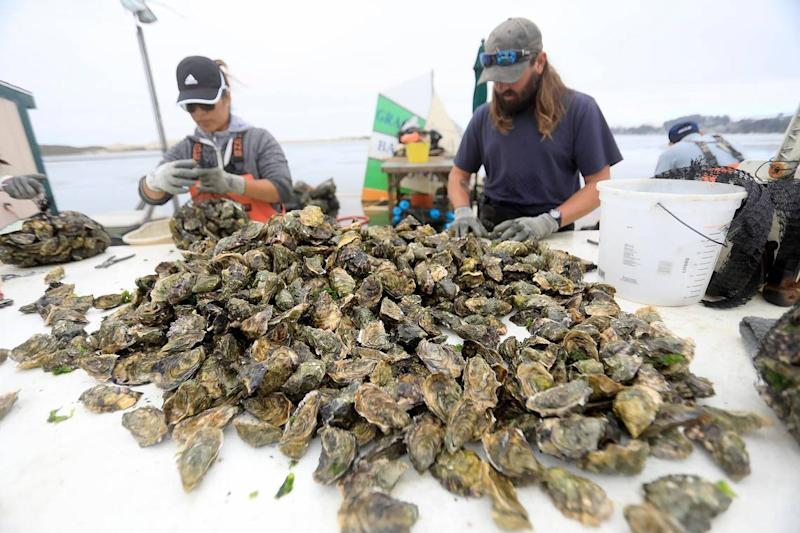 Carolina Hernandez and William Hudson prep the oysters for shipping at the Grassy Bar Oyster Co. in Morro Bay.