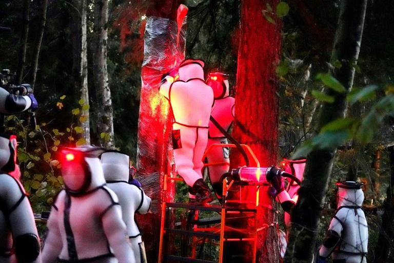 Workers wearing protective suits, illuminated with red lamps, vacuum a nest of Asian giant hornets from a tree in Blaine, Washington state