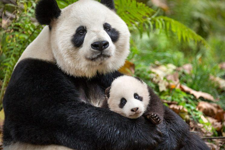 "Giant panda Ya Ya and her baby Mei Mei from the Disneynature film ""Born in China."""