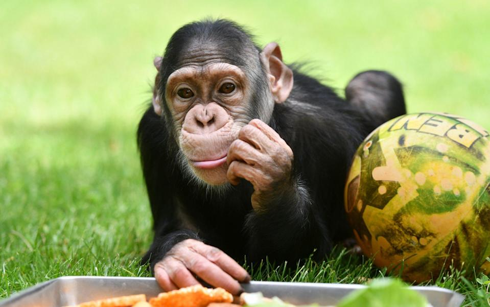 A study has examined how chimpanzees, marmosets and humans appear to process words - Anadolu Agency via Getty Images