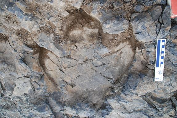 A hadrosaur track from Denali National Park's amazing track site.