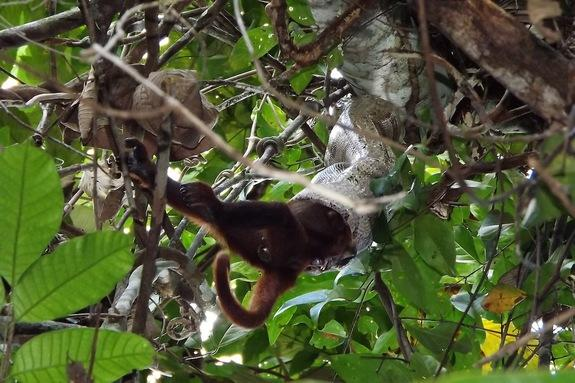 The boa constricted the adult female Purús red howler monkey for 76 minutes before eating it head-first.